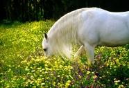 arabian horseANDALUSIAN HORSE180030003.JPG