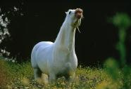 arabian horseANDALUSIAN HORSE180040004.JPG