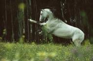 arabian horseANDALUSIAN HORSE180050005.JPG