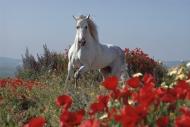 arabian horseANDALUSIAN HORSE180070007.JPG