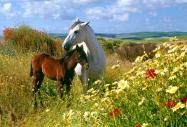 arabian horseANDALUSIAN HORSE180080008.JPG