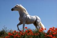 arabian horseANDALUSIAN HORSE180090009.JPG
