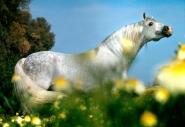 arabian horseANDALUSIAN HORSE180100010.JPG