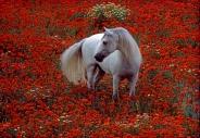 arabian horseANDALUSIAN HORSE180110011.JPG