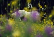 arabian horseANDALUSIAN HORSE180120012.JPG