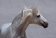 arabian horseANDALUSIAN HORSE180140014.JPG