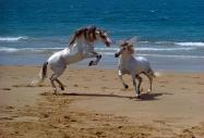 arabian horseANDALUSIAN HORSE180150015.JPG