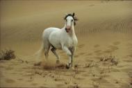 arabian horseANDALUSIAN HORSE180160016.JPG
