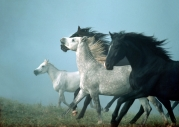 arabian horse180020002.JPG