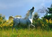 arabian horse180030003.JPG