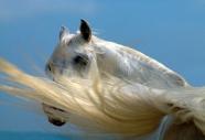 arabian horse180050005.JPG