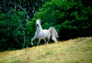 arabian horse180060006.JPG