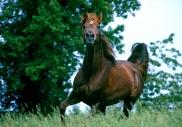 arabian horse180130013.JPG