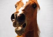 arabian horse180140014.JPG