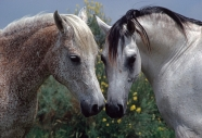 arabian horse180150015.JPG