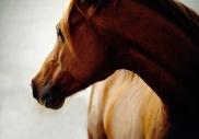 arabian horse180160016.JPG