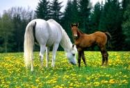 arabian horse180170017.JPG