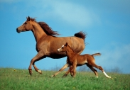 arabian horse180190019.JPG