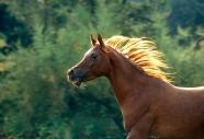 arabian horse180210021.JPG