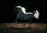 arabian horse180240024.JPG