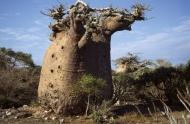 BAOBABY MADAGASKAR19006006.jpg