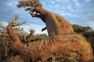 BAOBABY MADAGASKAR19008008.jpg