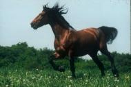 stallion830