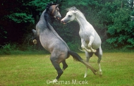 stallion836