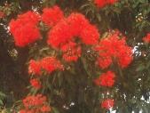 CORYMBIA FICIFOLIA19002002.JPG