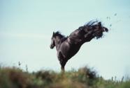 FRIESIAN HORSE180030003.JPG