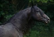 FRIESIAN HORSE180040004.JPG