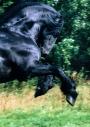 FRIESIAN HORSE180070007.JPG
