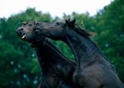 FRIESIAN HORSE180100010.JPG