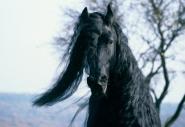 FRIESIAN HORSE180130013.JPG