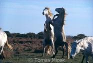 TM_HORSES_019