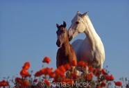TM_HORSES_024