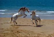 TM_HORSES_065