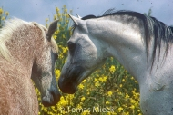 HORSES_2_127