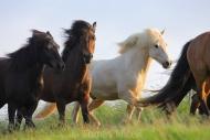 Iceland_Horses_009