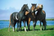 Iceland_Horses_017
