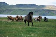 Iceland_Horses_018