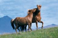 Iceland_Horses_019