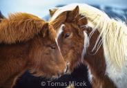 Iceland_Horses_020