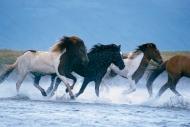 Iceland_Horses_037