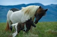 Iceland_Horses_047
