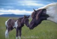 Iceland_Horses_049
