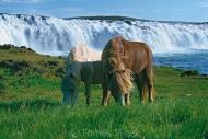 Iceland_Horses_066