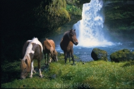 Iceland_Horses_073