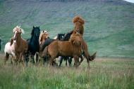 Iceland_Horses_085