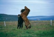 Iceland_Horses_086